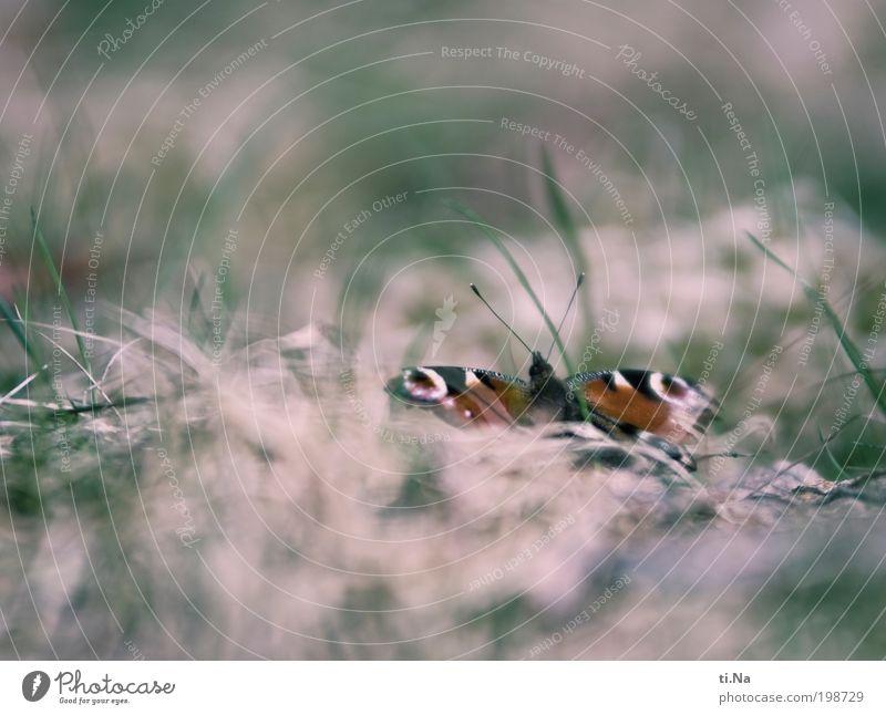 Farben eines Schmetterlings Natur schön grün Pflanze rot ruhig Tier Wiese Gras Landschaft hell warten rosa Umwelt ästhetisch retro