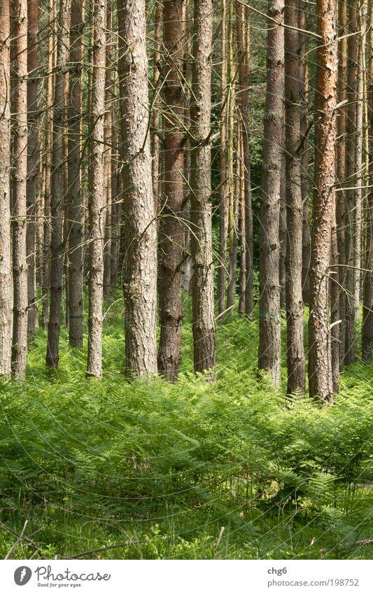 Kiefernwald Natur Baum grün Pflanze Sommer Wald Gras Holz Stimmung braun Kraft Umwelt frisch Klima Farn