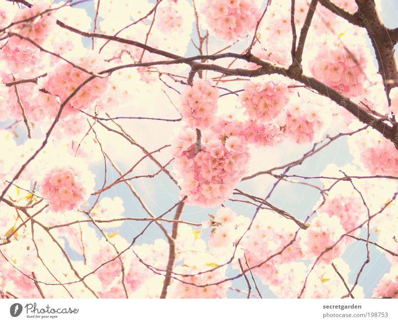 foto durch eine rosarote brille. Kirschblütenfest Umwelt Pflanze Himmel Frühling exotisch Garten Park Blühend Duft glänzend leuchten Kitsch blau weiß