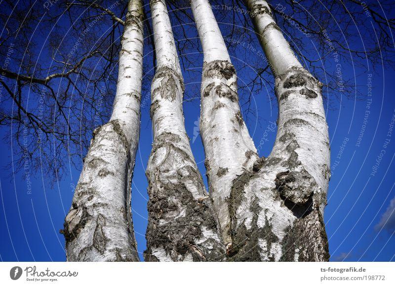Ohne Daumen? Natur Landschaft Pflanze Urelemente Luft Himmel Wolkenloser Himmel Herbst Winter Klima Wetter Schönes Wetter Baum Ast Finger Hand Skelett Birke
