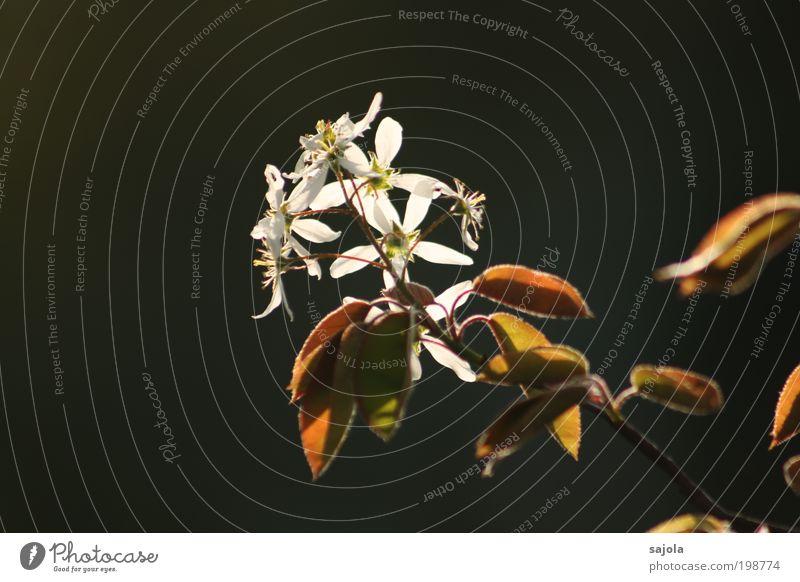 auf den frühling II Natur weiß Baum Blume grün Pflanze Blatt Blüte braun Umwelt ästhetisch Wachstum Sträucher Wandel & Veränderung Blühend leuchten