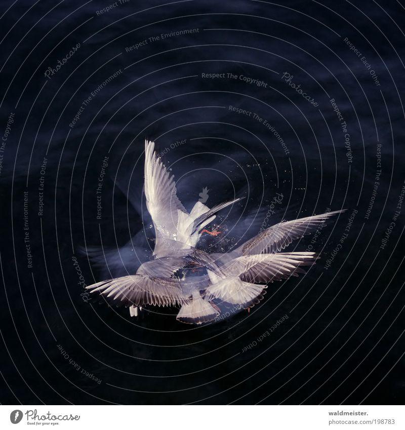 Möwen Wasser blau Tier grau Vogel fliegen abstrakt Tiergruppe Flügel Experiment Wildtier Fressen Doppelbelichtung Konkurrenz