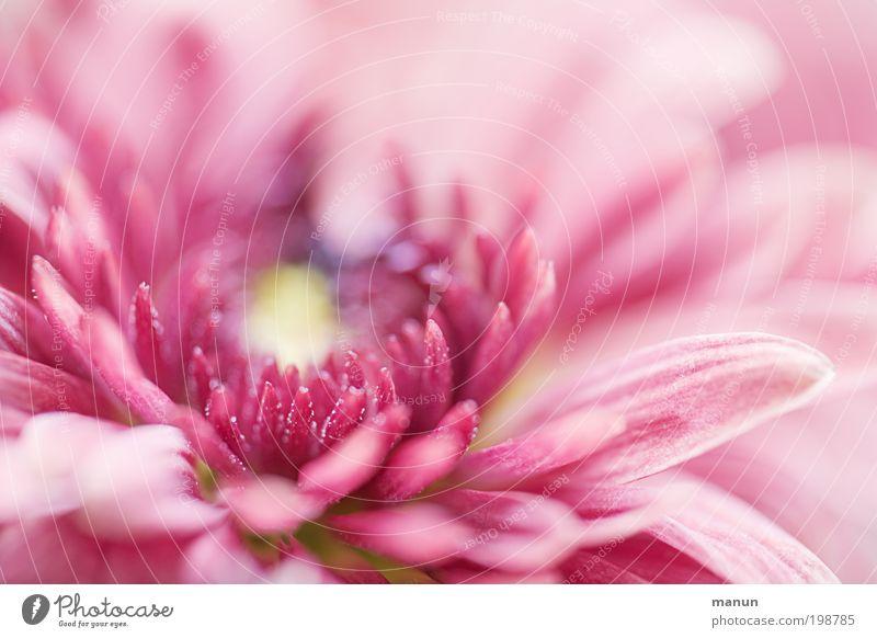rosa Blume Natur schön Sommer Blüte Frühling Feste & Feiern hell Design frisch elegant ästhetisch Fröhlichkeit Blühend Lebensfreude