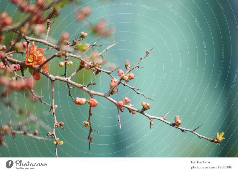 Trügerische Zartheit Natur Pflanze Frühling Klima Sträucher Blüte Stachel Blütenknospen Quittenblüte Scheinquitte Garten Blühend rosa türkis Stimmung