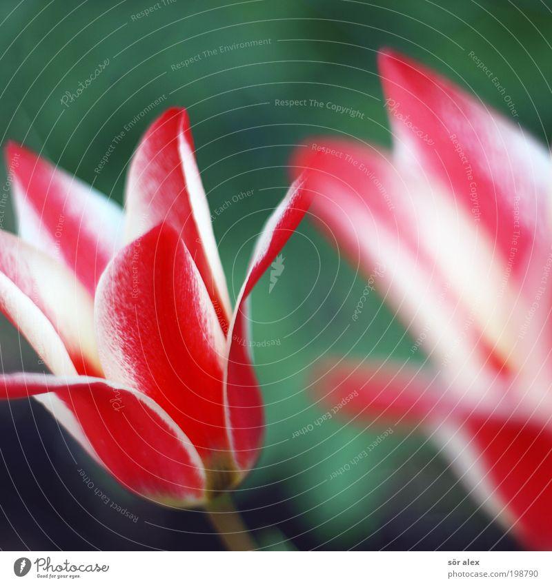 Tulpen rot-weiß Natur schön Blume grün Pflanze Blüte Frühling frisch Duft Blütenblatt Frühlingsblume Farbenwelt