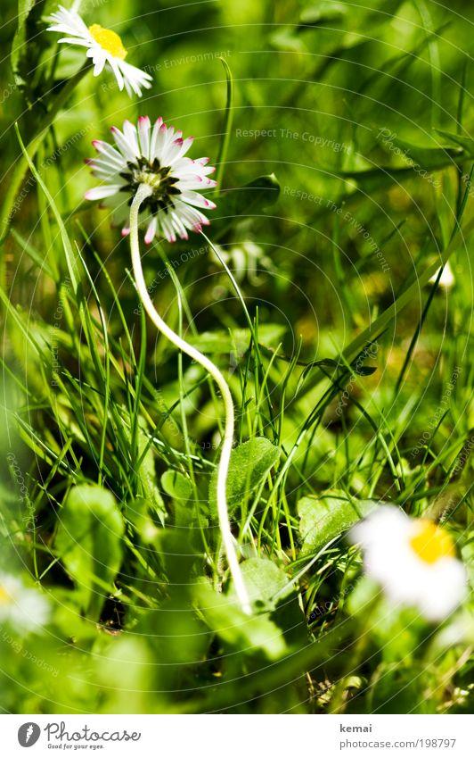 Verwachsen Umwelt Natur Pflanze Erde Sonne Frühling Sommer Schönes Wetter Wärme Blume Gras Blüte Grünpflanze Gänseblümchen Korbblütengewächs Blütenblatt Stengel