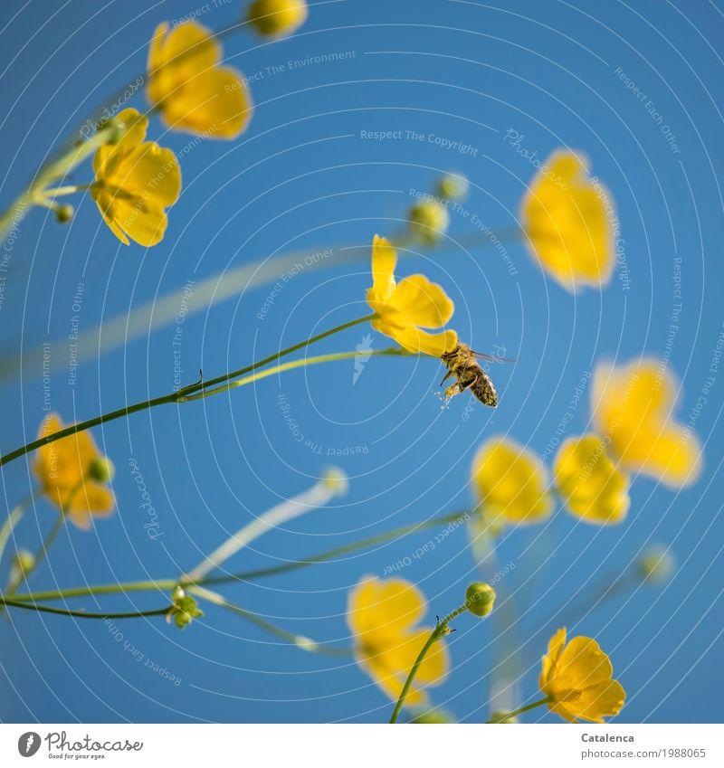 Über Bienen und Blumen Pollen Pflanze Tier Himmel Sommer Schönes Wetter Blüte Sumpf-Dotterblumen Wiese Nutztier 1 Arbeit & Erwerbstätigkeit Blühend Duft fliegen