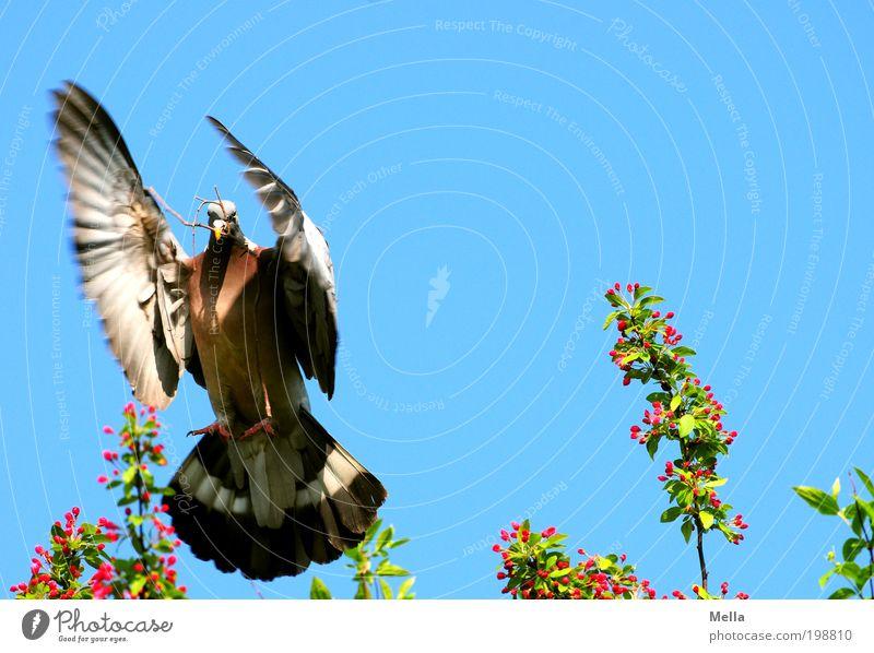Punktlandung Umwelt Natur Tier Luft Wolkenloser Himmel Frühling Vogel Taube Ringeltaube 1 Zeichen Friedenstaube Bewegung fliegen positiv mehrfarbig Stimmung