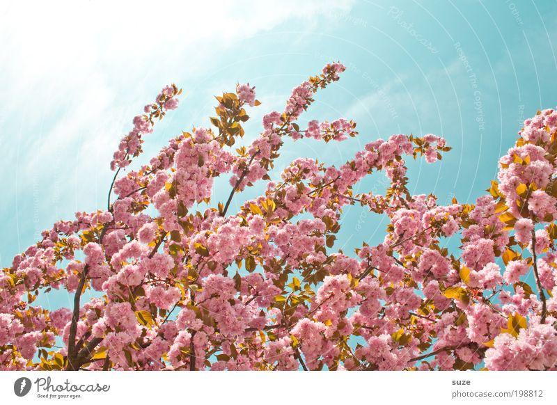 Rosalie Umwelt Natur Pflanze Himmel Frühling Schönes Wetter Baum Sträucher Blüte Blühend Wachstum ästhetisch Freundlichkeit schön rosa Frühlingsgefühle