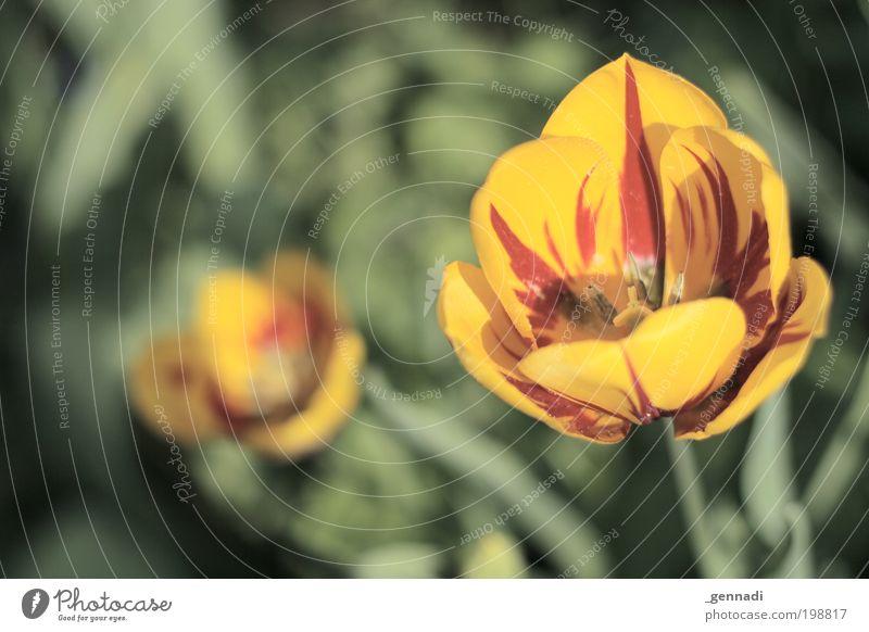 o O Umwelt Natur Landschaft Pflanze Blume Gras Tulpe Blüte Grünpflanze Topfpflanze gelb grün rot mehrfarbig Prima Duft Farbfoto Außenaufnahme Menschenleer Tag