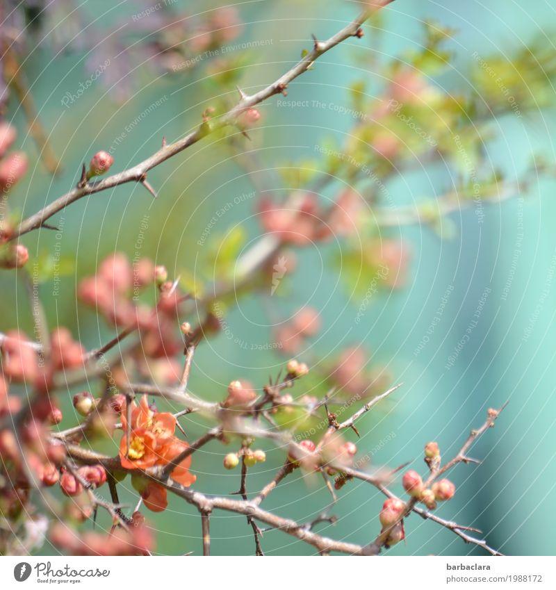 Frühlingspastell Natur Pflanze Schönes Wetter Sträucher Blüte Scheinquitte Blütenknospen Quittenblüte Garten Blühend leuchten hell rosa Stimmung