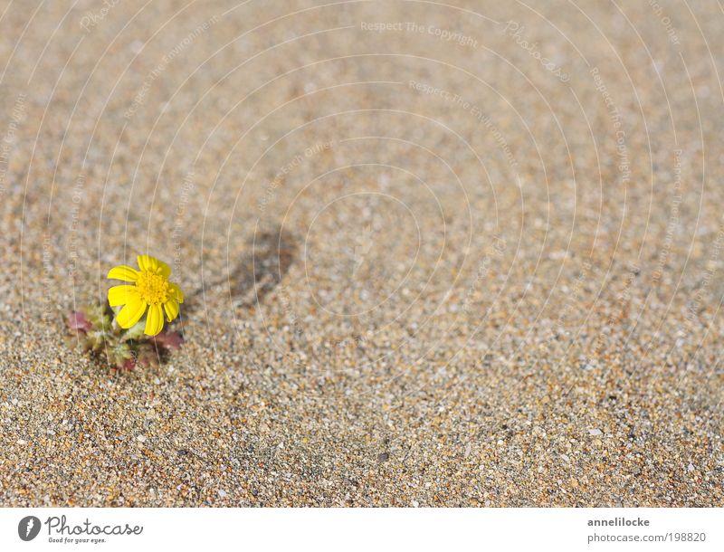 durstig Natur Pflanze Blume Strand Einsamkeit gelb Umwelt Landschaft Blüte Sand Wärme Klima Wachstum außergewöhnlich Hoffnung Wüste