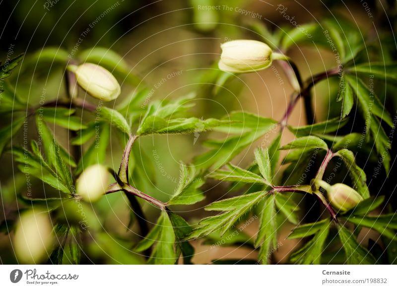 Weg zur Verwirrung Natur Pflanze Sonnenlicht Frühling Schönes Wetter Blume Wildpflanze Blühend Duft braun grün Anemone nemorosa Steppenhexe Fuchs riechen