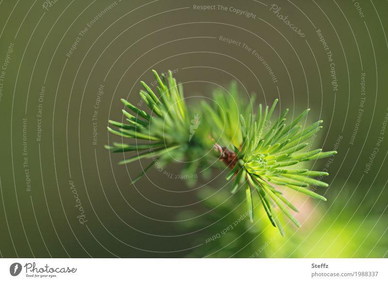 frisches Lärchengrün Natur Pflanze grün Baum Wald Umwelt Frühling frisch Zweig Frühlingsgefühle Nadelbaum Wildpflanze Tannennadel Mai Jungpflanze hellgrün
