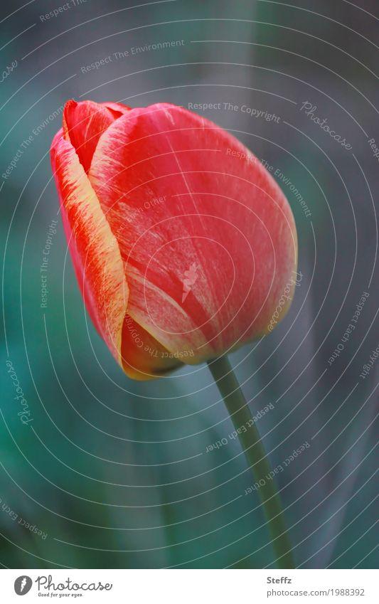 Tulpenzeit Tulpenblüte Gartenblume Blume Frühling Blüte Tulpenknospe Frühlingsblume Blütenblatt Blühend natürlich schön grün rot Frühlingsgefühle Vorfreude