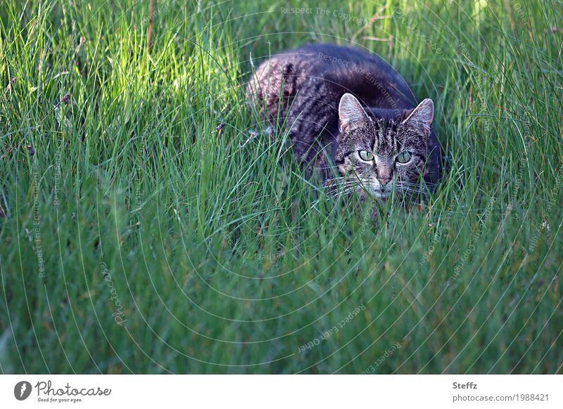 Begegnung Natur Frühling Sommer Pflanze Gras Wildpflanze Garten Tier Haustier Katze Tiergesicht Katzenkopf Katzenauge Katzenohr 1 beobachten Blick braun grün