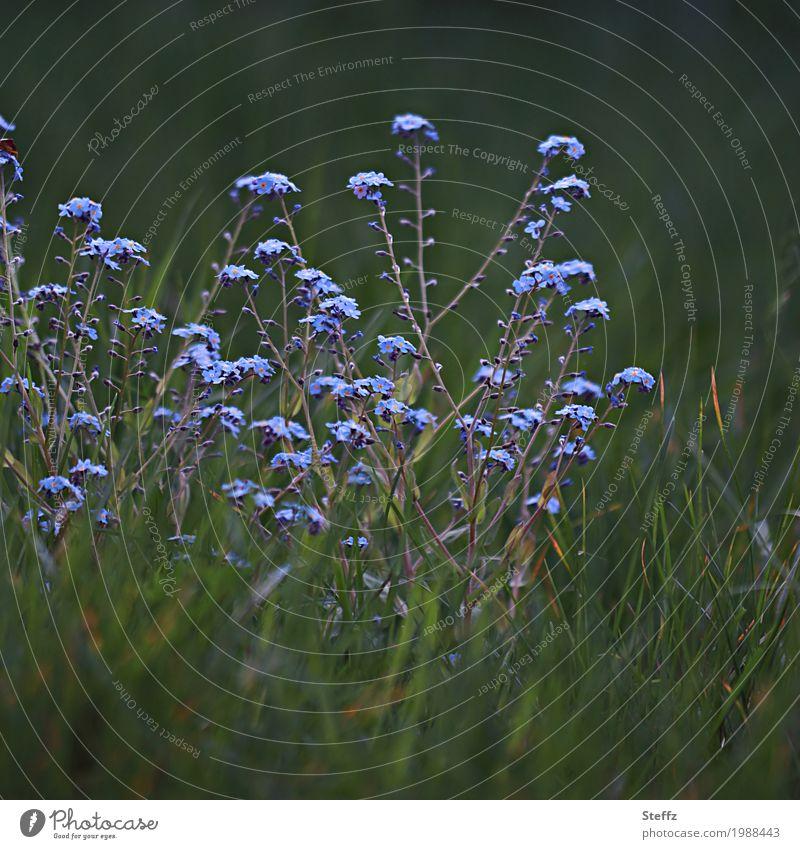 was zusammen gehört Vergissmeinnicht Myosotis Frühlingsblumen zarte Blüten Frühlingserwachen April blaue Blüten Blütezeit kleine Blüten blühende Frühlingsblumen