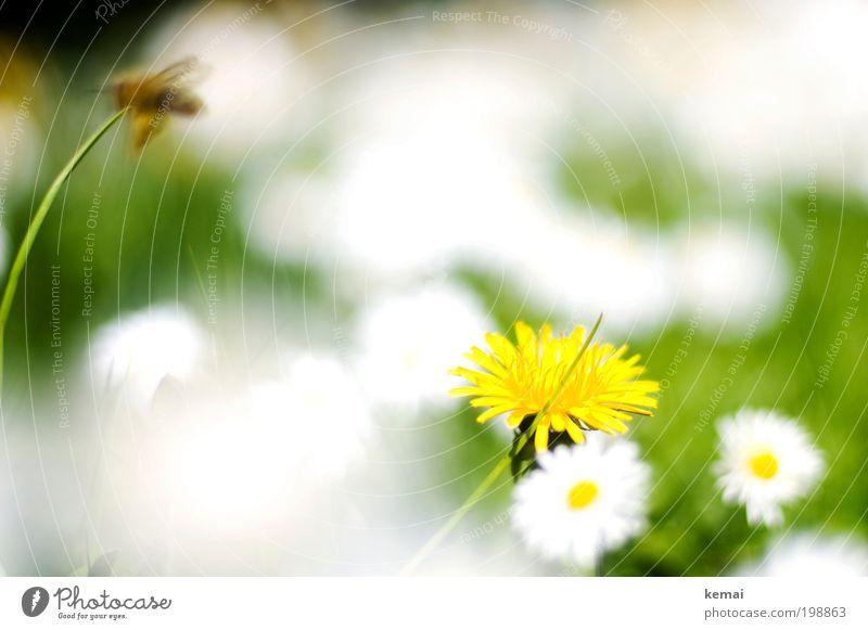 Weiße Flecken Umwelt Natur Pflanze Frühling Sommer Schönes Wetter Wärme Gras Blüte Grünpflanze Wildpflanze Gänseblümchen Korbblütengewächs Löwenzahn Garten