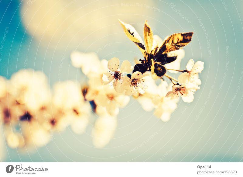 so rein und zart Himmel Natur blau weiß grün Baum Pflanze Sonne Sommer Tier gelb Umwelt Frühling Garten Blüte träumen