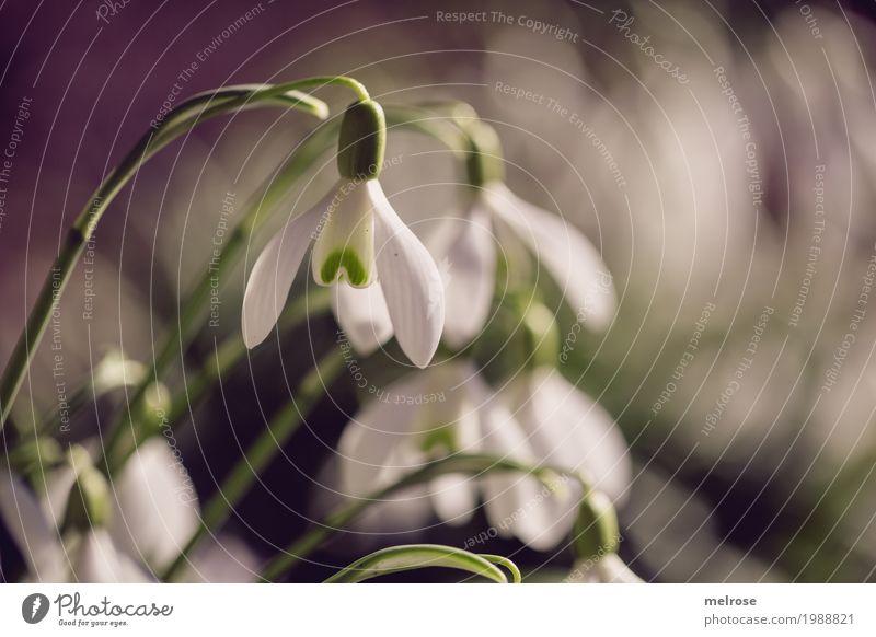 Schneeglöckchen kling kling elegant Stil Natur Sonnenlicht Frühling Schönes Wetter Pflanze Blume Blatt Blüte Wildpflanze Frühblüher Liliengewächse Blütenkelch