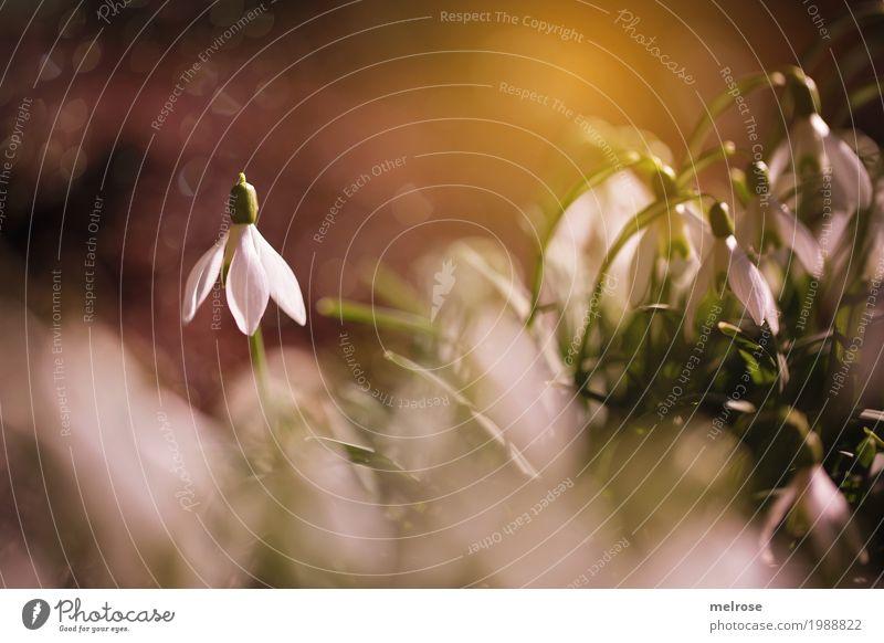 Schneeglöckchen - STAR elegant Stil Natur Sonne Sonnenlicht Frühling Schönes Wetter Pflanze Blume Blatt Blüte Wildpflanze Liliengewächse Pflanzenteile