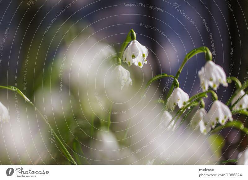 Märzenbecher läuten elegant Stil Natur Himmel Sonne Frühling Schönes Wetter Pflanze Gras Blatt Blüte Wildpflanze Frühblüher Liliengewächse Blütenpflanze