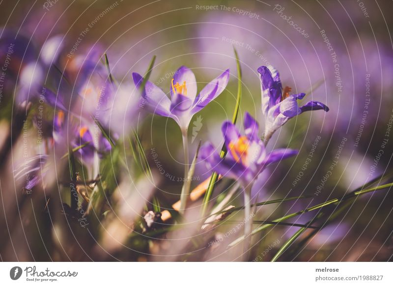 Krokusse im Sonnenbad Natur Erde Frühling Schönes Wetter Pflanze Blume Gras Blüte Wildpflanze Blütenpflanze Schwertliliengewächse Frühblüher Wiese Farbfleck