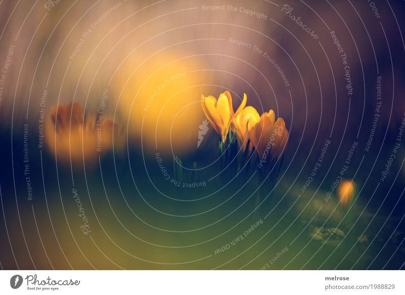 Dotter - Krokusse Natur Pflanze grün Sonne Blume gelb Blüte Frühling Wiese Gras Stil braun leuchten Erde elegant Geburtstag