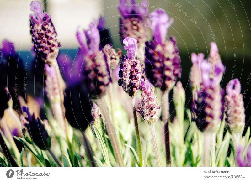 my dear lavender. Natur Pflanze Sommer Blüte Gesundheit frisch Duft