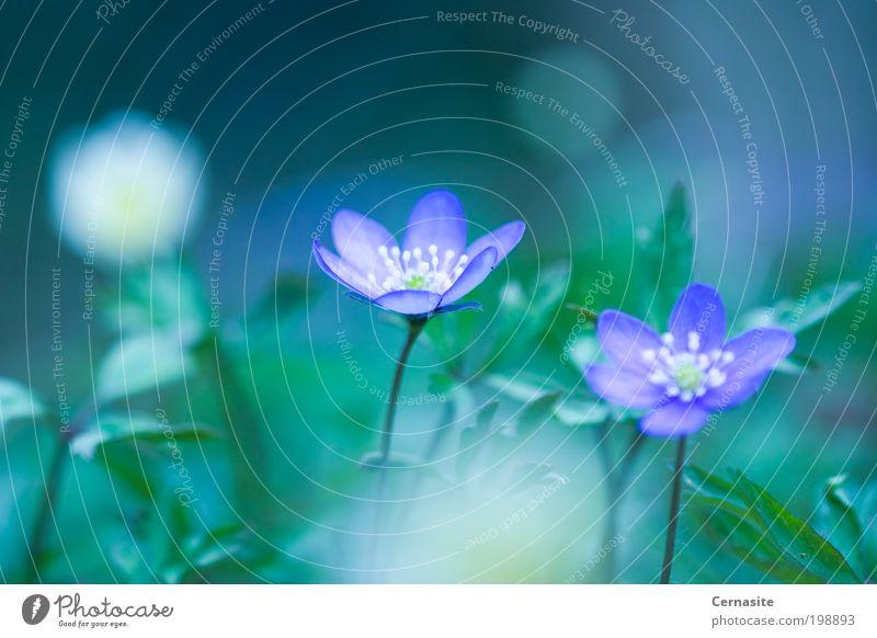 Ruhiger Frühlingswind Natur Sonnenlicht Blume Wildpflanze Wiese ästhetisch authentisch Duft einfach elegant schön nah wild mehrfarbig grün violett Leberblümchen