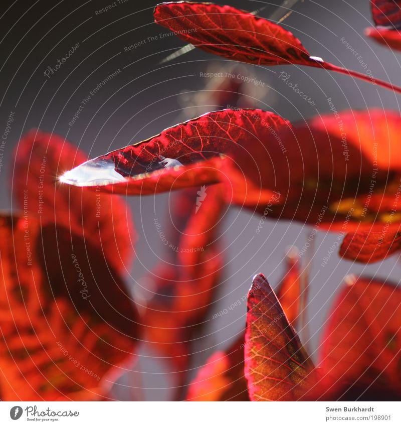 Wer wird denn gleich rot werden ???? Natur Pflanze Wassertropfen Sommer Herbst Blatt glänzend leuchten Wärme grau Warmherzigkeit Gelassenheit ruhig Umwelt
