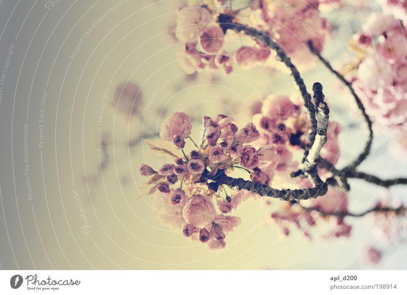Blütenzauber Natur schön Baum Sonne Pflanze Freude Blüte Frühling Garten Glück Park Zufriedenheit hell Kunst rosa Umwelt