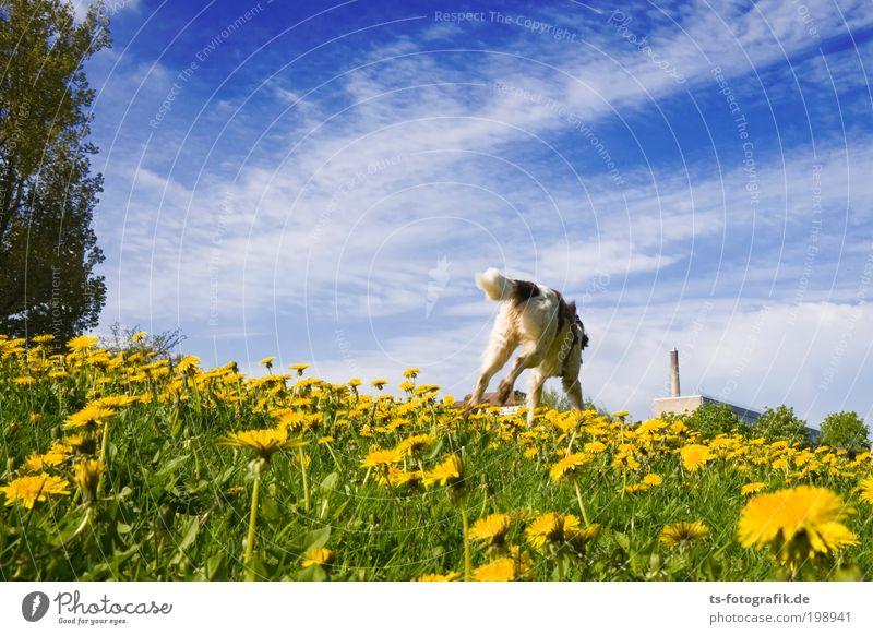 Hol's gelbe Blümchen! Natur Himmel Blume grün Pflanze Sommer Freude Wolken Tier gelb springen Blüte Gras Frühling Glück Hund