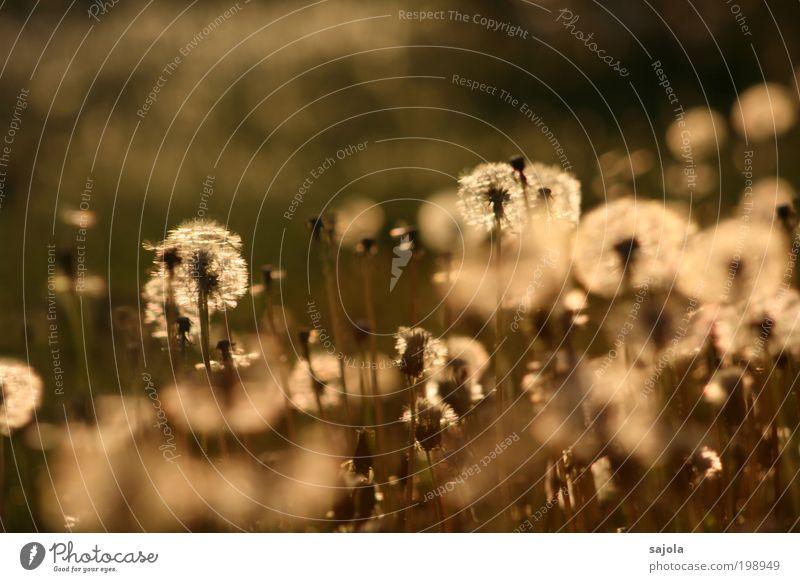 wie viele kleine lampions Natur Blume Pflanze Wiese Blüte Frühling Umwelt gold ästhetisch Vergänglichkeit leuchten Löwenzahn Verfall Frühlingsgefühle Nutzpflanze Wildpflanze