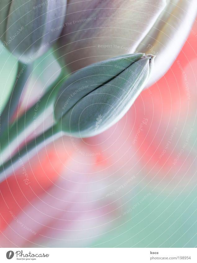 Pastell Pflanze Frühling Blume Tulpe Blüte Garten Blühend Wachstum ästhetisch Spitze grün rosa Frühlingsgefühle schön Farbe Optimismus Gedeckte Farben