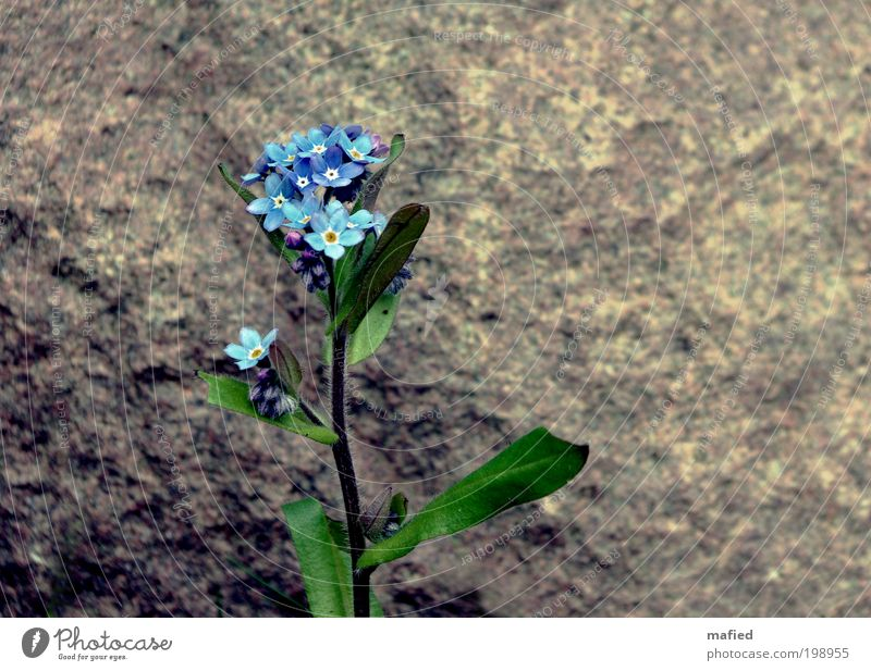 Don't you forget about me Natur weiß Blume grün blau Pflanze Blatt gelb Blüte Garten grau Stein braun Wachstum Treue Gefühle