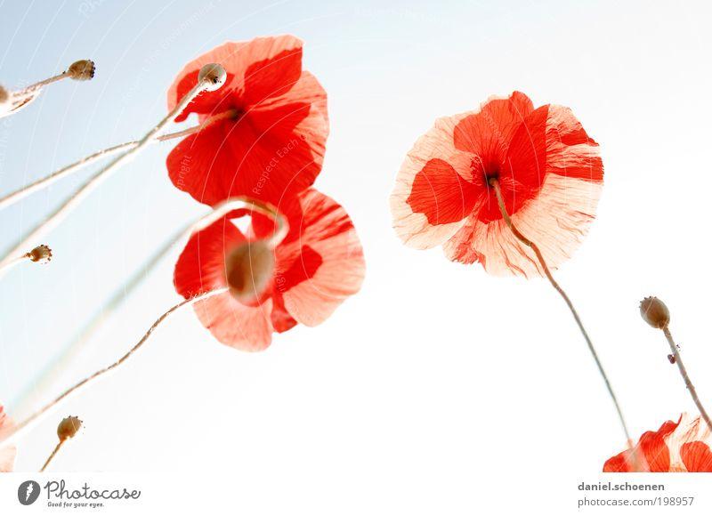 Gegenlichtmohnwiese Natur Pflanze Wolkenloser Himmel Sonne Schönes Wetter Blume schön blau rot Mohn Mohnblüte Licht Sonnenlicht Sonnenstrahlen Froschperspektive
