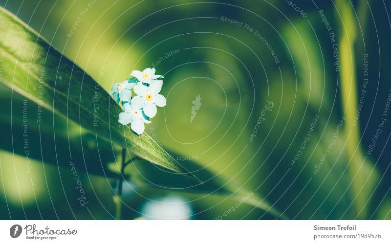 Vergiss mich nicht Natur Pflanze blau Sommer grün Blume ruhig Traurigkeit Frühling Liebe Gefühle natürlich Glück Garten Zusammensein träumen