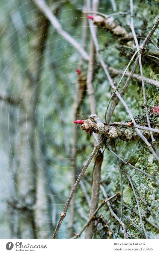 Kreuz und quer Umwelt Natur Pflanze Sträucher Moos Garten Park ästhetisch Mauer Mauerpflanze Ranke rot grün kreuzen Netz Blüte Blütenknospen Farbfoto