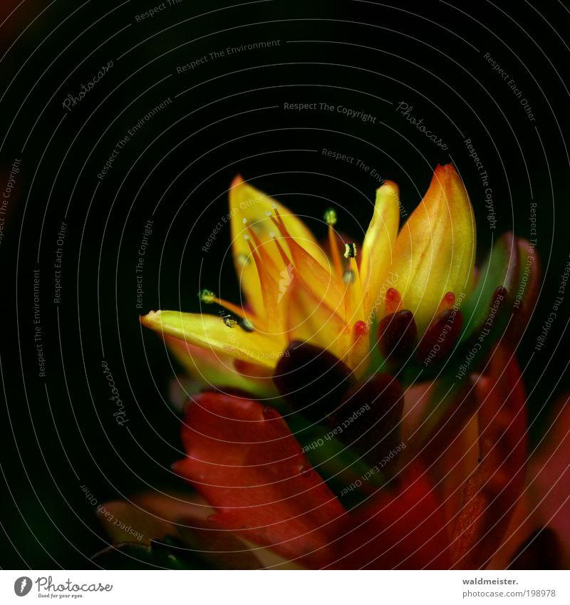 Blümchen Pflanze Blume Blüte Blühend gelb ästhetisch Einsamkeit Farbfoto Detailaufnahme Makroaufnahme abstrakt Unschärfe Schwache Tiefenschärfe