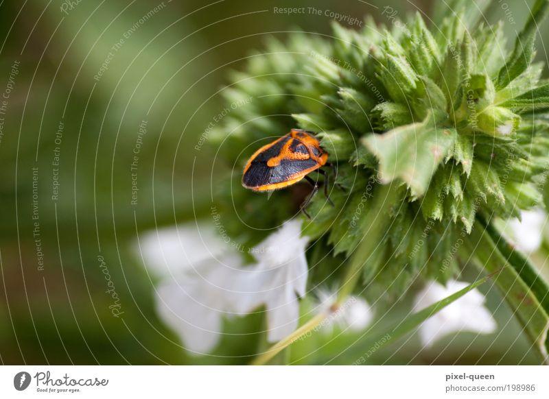Käfer Natur Pflanze Tier Blume Blüte Grünpflanze Wiese Alpen Wildtier 1 Duft natürlich grün Farbfoto Außenaufnahme Menschenleer Textfreiraum links Tag