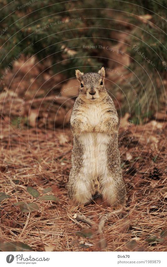 Aufrecht stehen! Umwelt Natur Winter Pflanze Tannennadel Kiefernnadeln Blatt Garten Park Wald Boulder Colorado USA Tier Wildtier Nagetiere Eichhörnchen 1