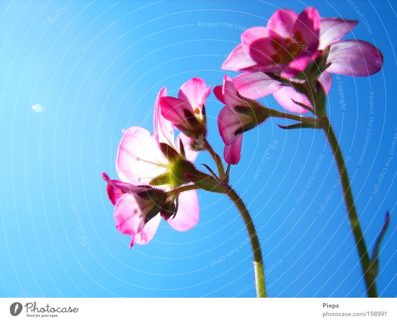 Rosa - Blau Natur Blume blau Pflanze Blüte Frühling Garten klein rosa Vergänglichkeit Blühend leuchten Umwelt Frühlingsgefühle Wolkenloser Himmel