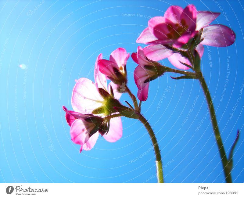 Rosa - Blau Natur Blume blau Pflanze Blüte Frühling Garten klein rosa Vergänglichkeit Blühend leuchten Umwelt Frühlingsgefühle Wolkenloser Himmel Steinbrechgewächse