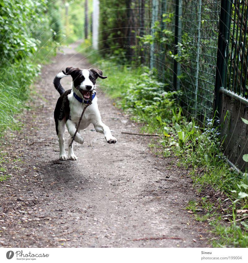 Herr Schröder im Glück Natur Frühling Wege & Pfade Hund Welpe Tierjunges Stock laufen Spielen Fröhlichkeit schön lustig niedlich wild schwarz weiß Freude