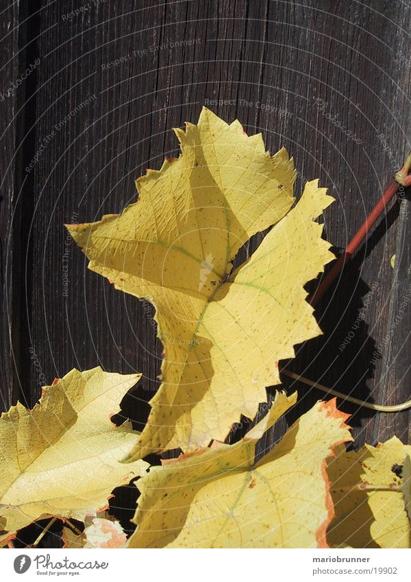 yellow_wine Blatt gelb Herbst Holz Wein herbstlich Weinblatt