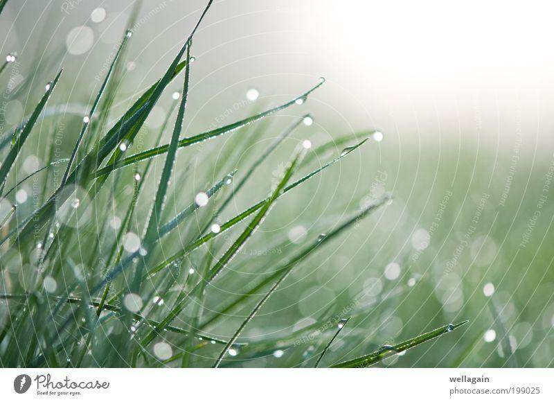 Diamanten Natur Pflanze Wassertropfen Frühling Nebel Gras grün weiß rein Farbfoto Makroaufnahme abstrakt Menschenleer Textfreiraum rechts Textfreiraum oben
