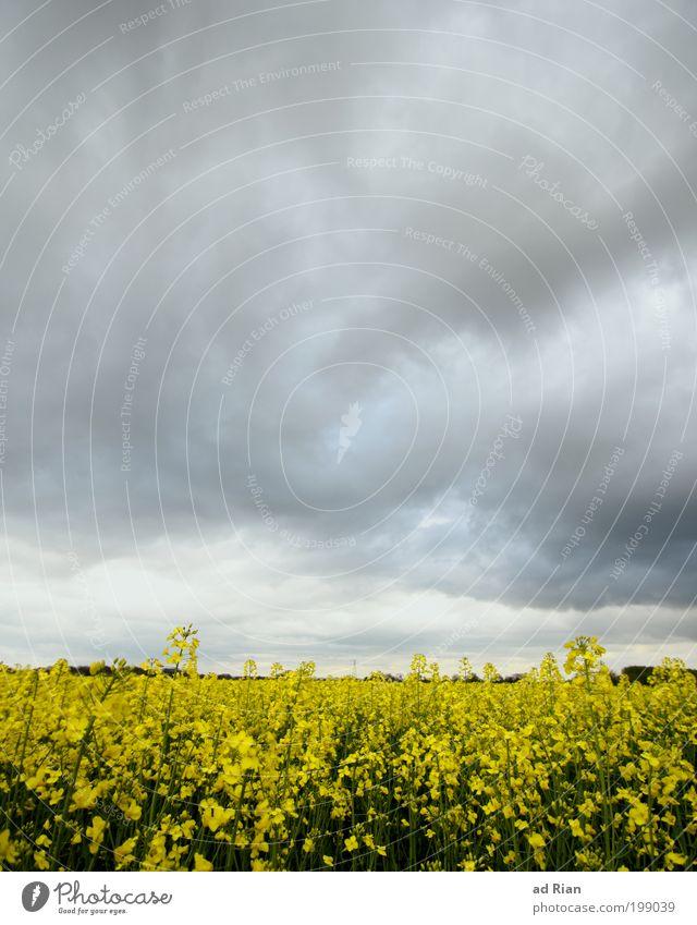 Raps, das war sein letztes Wort Ernte Natur Landschaft Himmel Wolken schlechtes Wetter Unwetter Regen Rapsfeld Feld Hügel Endzeitstimmung Farbfoto