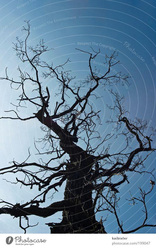 verzweigt Umwelt Natur Pflanze Himmel Wolkenloser Himmel Baum alt bedrohlich dunkel dünn blau schwarz Schüchternheit Vergänglichkeit Ast Zweig Baumstamm