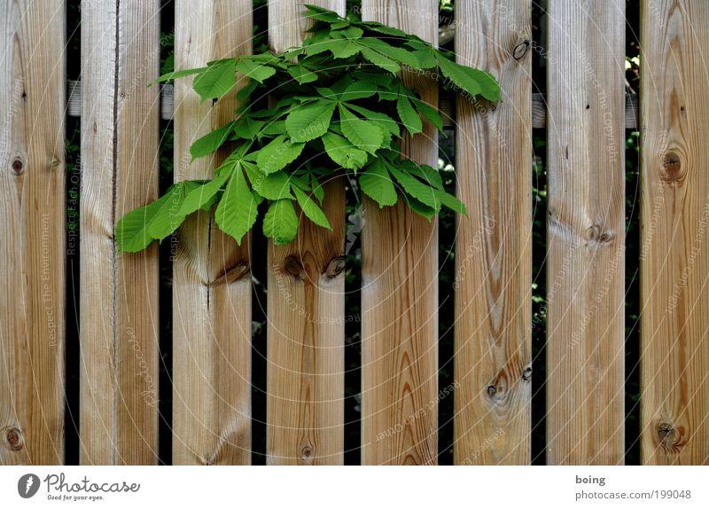 photocase_bestätigt.jpg Pflanze Baum Sträucher Grünpflanze Wildpflanze Kastanienbaum Kastanienblatt Garten Park Gefühle Zaun Lattenzaun Außenaufnahme